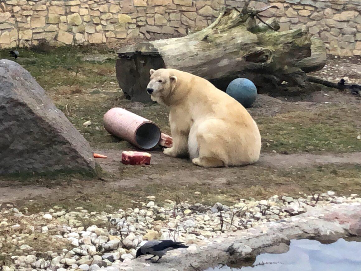 Tallinnan eläintarhan jääkarhu