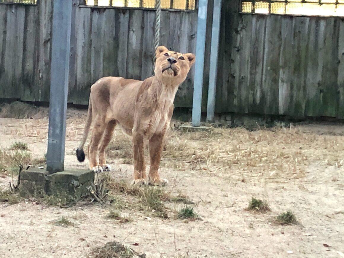 Leijona Tallinnan eläintarhassa